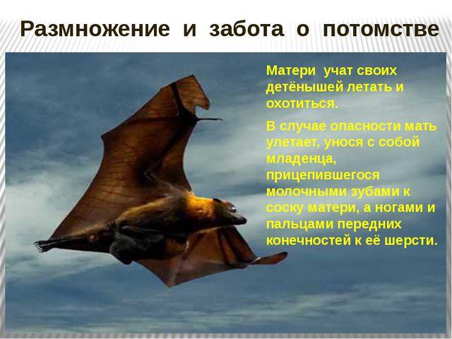 Размножение и забота о потомстве Матери учат своих детёнышей летать и охотить...