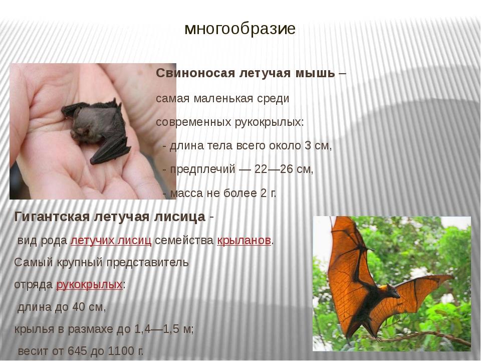 многообразие Свиноносая летучая мышь – самая маленькая среди современных руко...