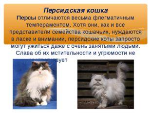 Персидская кошка Персы отличаются весьма флегматичным темпераментом. Хотя он