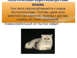 Экзотическая короткошерстная кошка Они легко приспосабливаются к новым обстоя