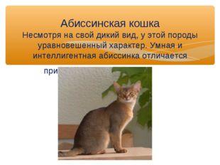 Абиссинская кошка Несмотря на свой дикий вид, у этой породы уравновешенный ха