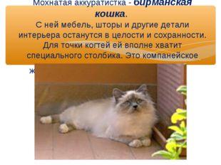 Мохнатая аккуратистка - бирманская кошка. С ней мебель, шторы и другие детал