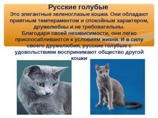 Русские голубые Это элегантные зеленоглазые кошки. Они обладают приятным темп