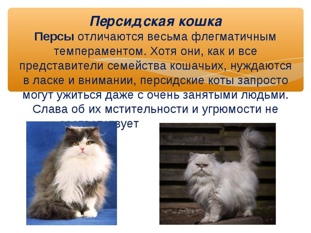 Персидская кошка Персы отличаются весьма флегматичным темпераментом. Хотя он...