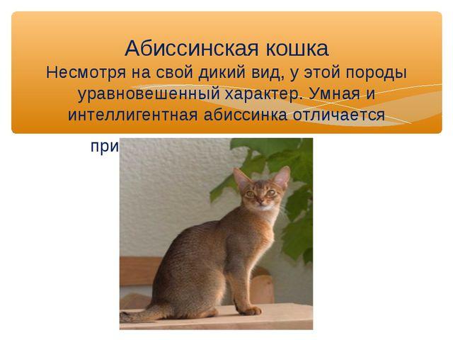 Абиссинская кошка Несмотря на свой дикий вид, у этой породы уравновешенный ха...