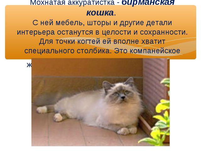 Мохнатая аккуратистка - бирманская кошка. С ней мебель, шторы и другие детал...