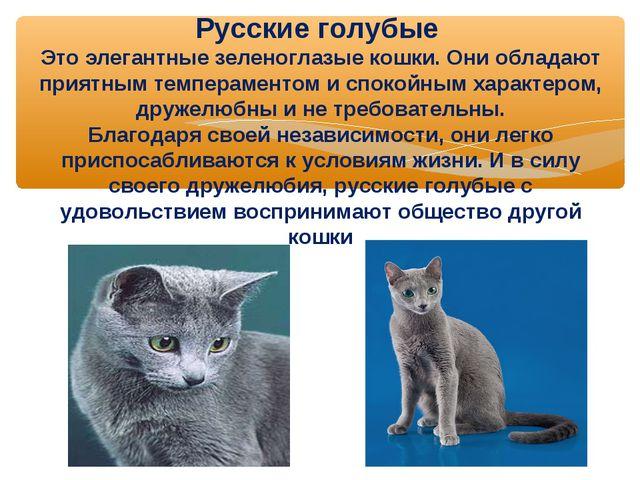 Русские голубые Это элегантные зеленоглазые кошки. Они обладают приятным темп...