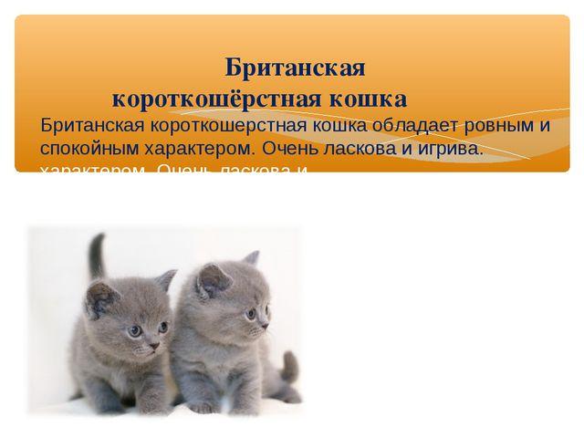 Британская короткошёрстная кошка Британская короткошерстная кошка обладает...
