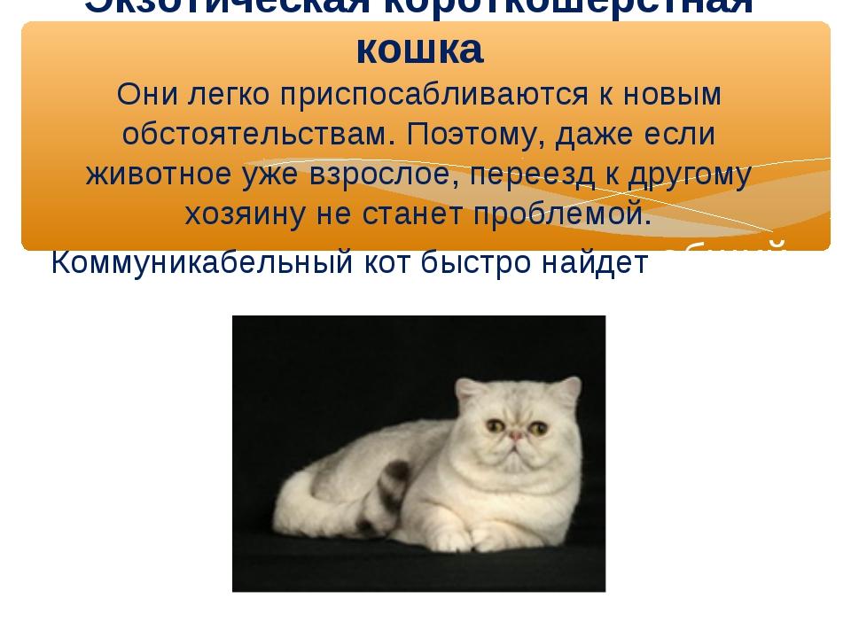 Экзотическая короткошерстная кошка Они легко приспосабливаются к новым обстоя...