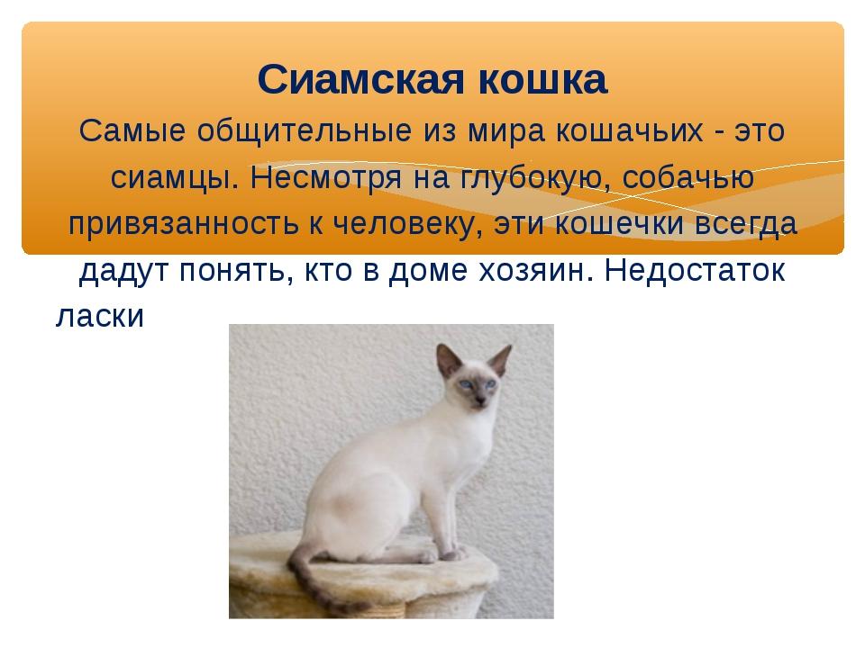 Сиамская кошка Самые общительные из мира кошачьих - это сиамцы. Несмотря на...