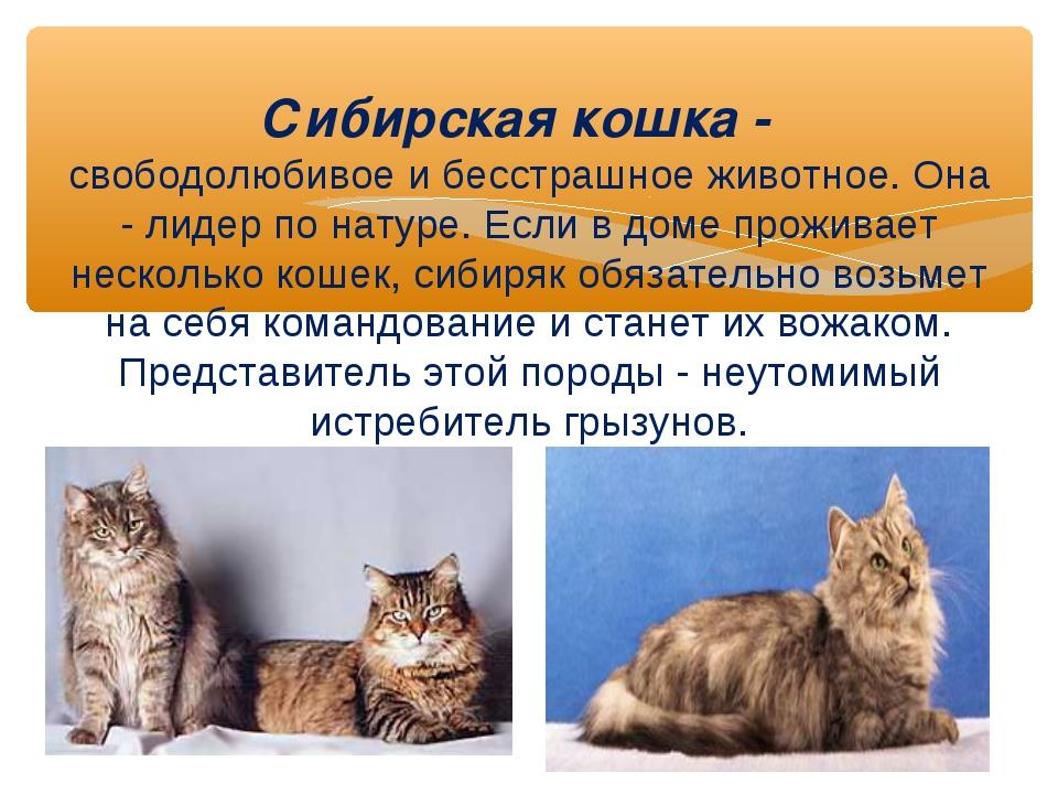 Сибирская кошка - свободолюбивое и бесстрашное животное. Она - лидер по натур...