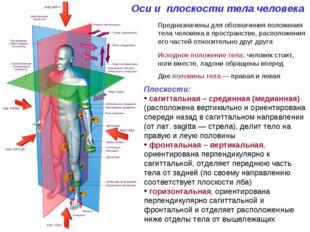 Оси и плоскости тела человека Предназначены для обозначения положения тела че