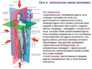 Оси и плоскости тела человека Оси вращения: вертикальная, направлена вдоль те