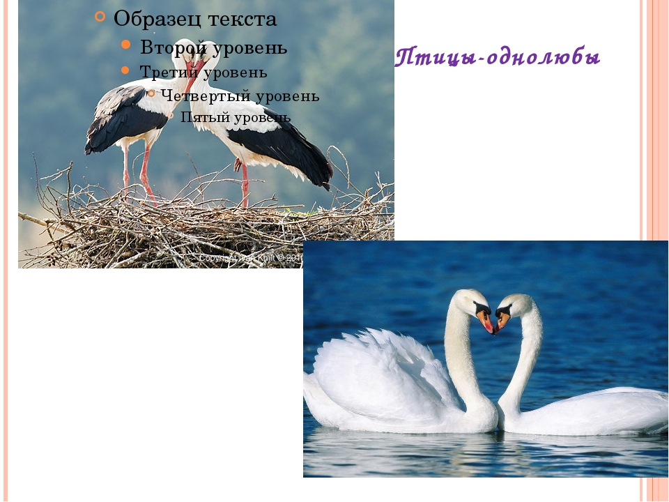 Птицы-однолюбы
