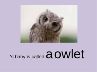 's baby is called a owlet