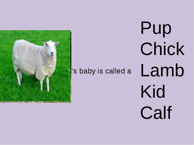 Pup Chick Lamb Kid Calf 's baby is called a