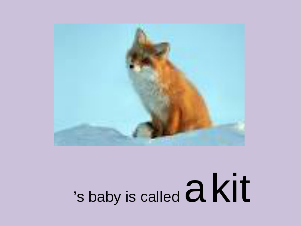 's baby is called a kit