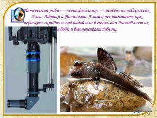Интересная рыба — периофтальмус — живет на побережьях Азии, Африки и Полинези
