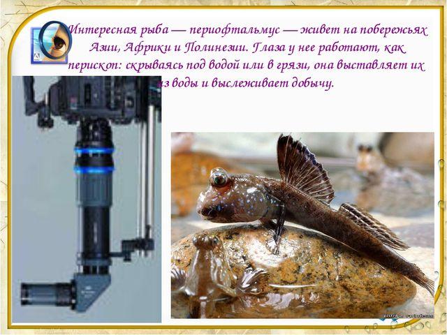 Интересная рыба — периофтальмус — живет на побережьях Азии, Африки и Полинези...