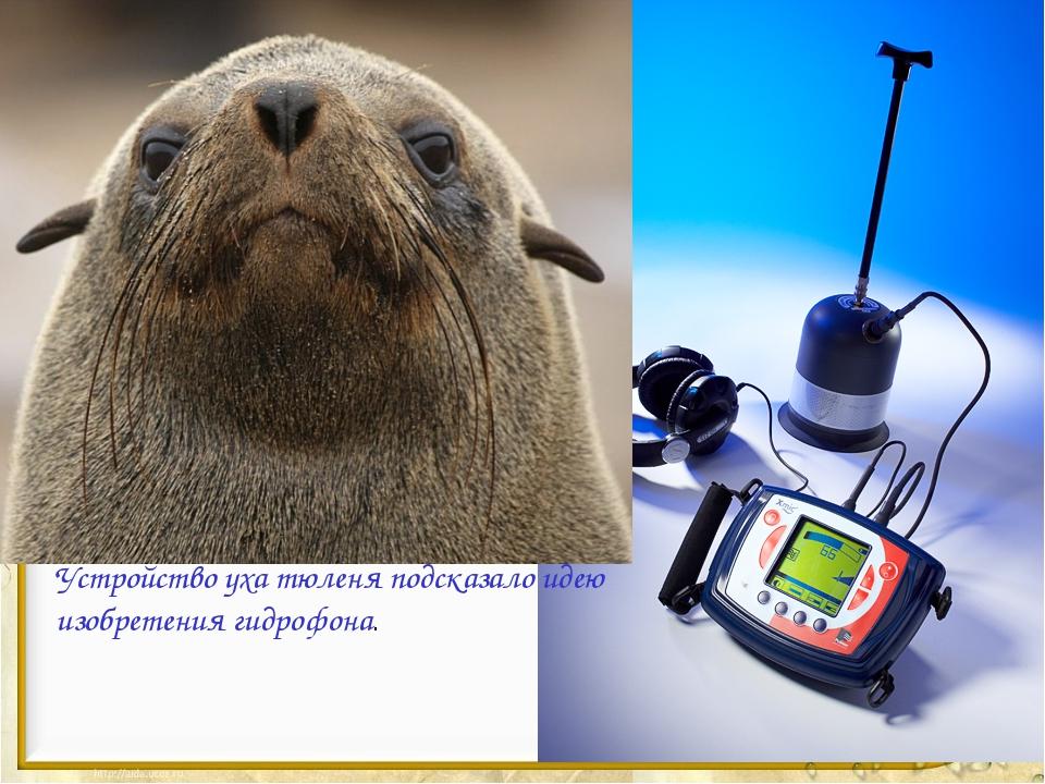 Устройство уха тюленя подсказало идею изобретения гидрофона.