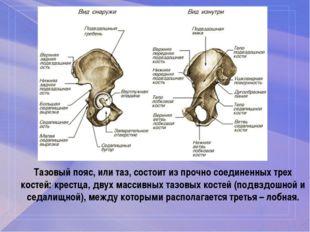 Тазовый пояс, или таз, состоит из прочно соединенных трех костей: крестца, дв