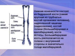 Нижние конечности состоят из бедренной кости (самая крупная из трубчатых кост