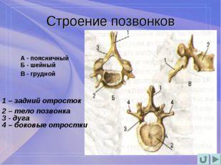 Строение позвонков А А - поясничный Б - шейный В - грудной 1 – задний отросток