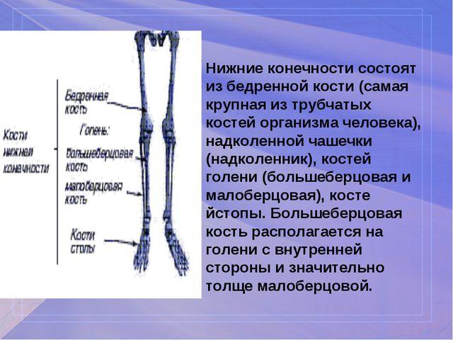 Нижние конечности состоят из бедренной кости (самая крупная из трубчатых кост...