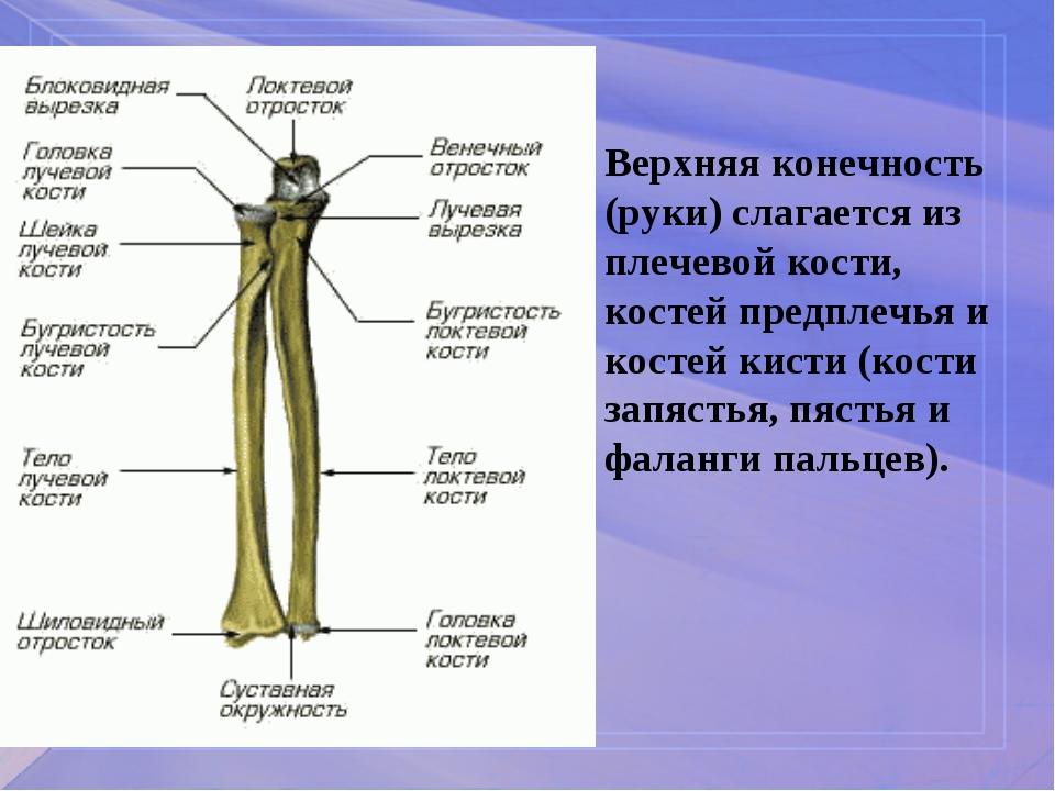 Верхняя конечность (руки) слагается из плечевой кости, костей предплечья и ко...