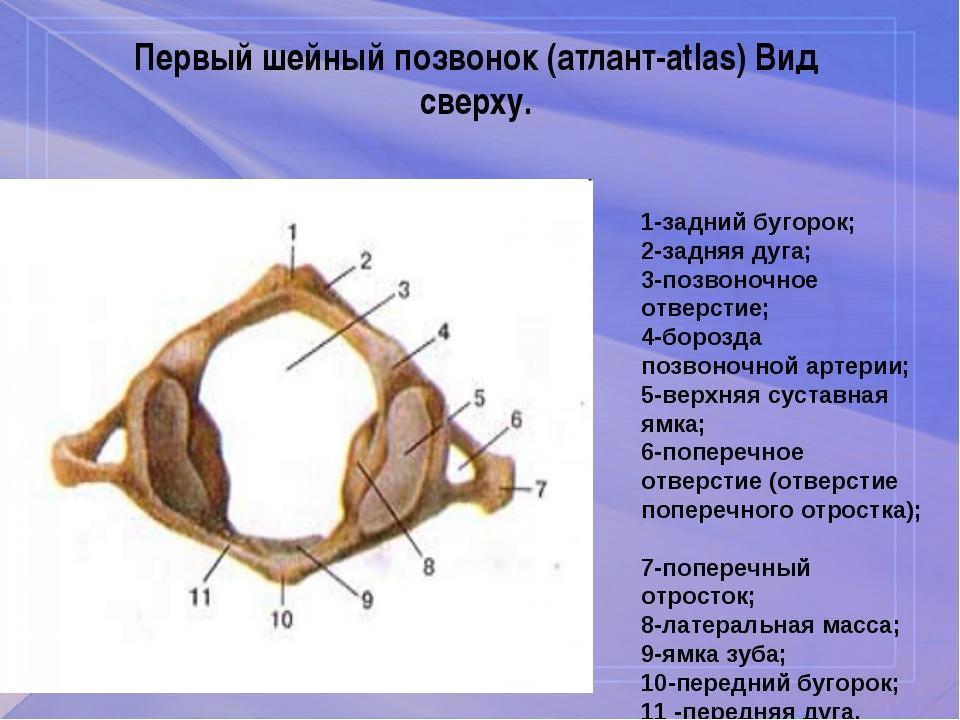 Первый шейный позвонок (атлант-atlas) Вид сверху. 1-задний бугорок; 2-задняя...