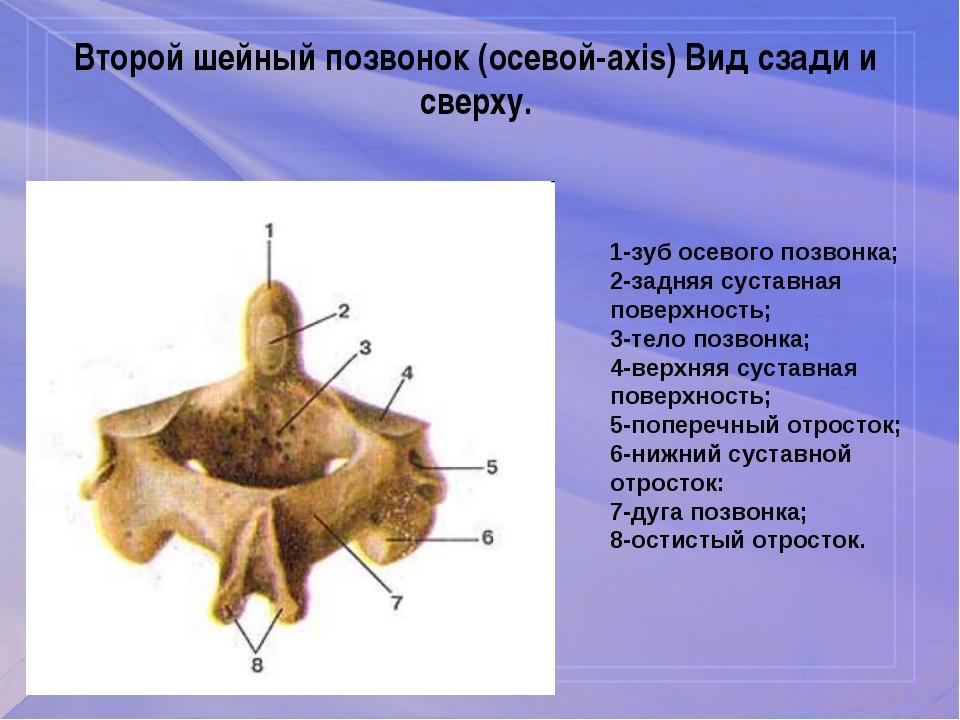 Второй шейный позвонок (осевой-axis) Вид сзади и сверху. 1-зуб осевого позвон...