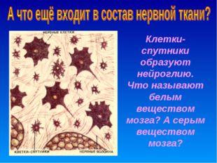 Клетки-спутники образуют нейроглию. Что называют белым веществом мозга? А сер