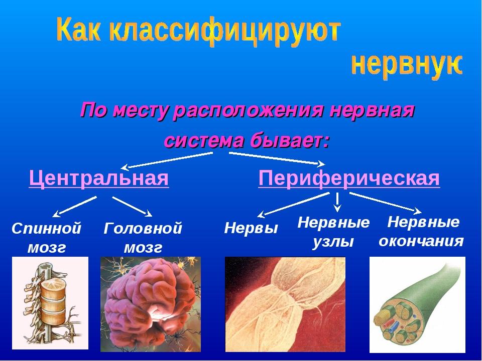 По месту расположения нервная система бывает: Периферическая Центральная Спин...