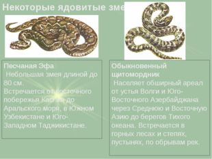 Песчаная Эфа Небольшая змея длиной до 80 см. Встречается от восточного побере