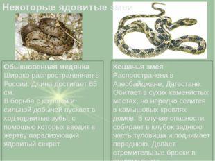 Обыкновенная медянка Широко распространенная в России. Длина достигает 65 см.