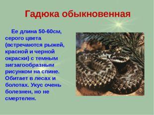 Гадюка обыкновенная Ее длина 50-60см, серого цвета (встречаются рыжей, красно