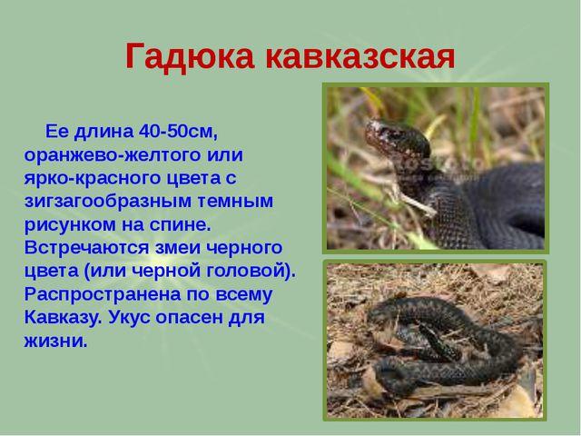 Гадюка кавказская Ее длина 40-50см, оранжево-желтого или ярко-красного цвета...