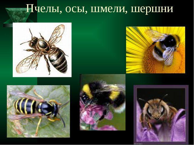 Пчелы, осы, шмели, шершни