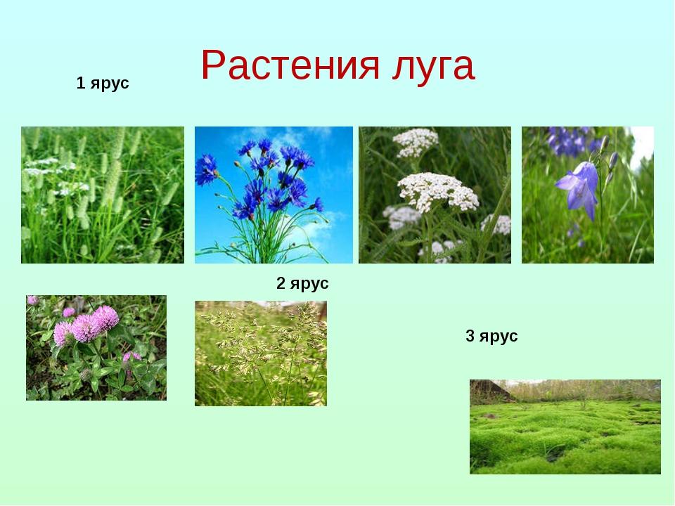 Растения луга 1 ярус 2 ярус 3 ярус
