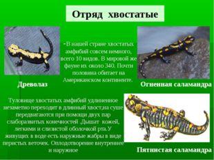 Отряд хвостатые Древолаз Пятнистая саламандра Огненная саламандра -В нашей ст