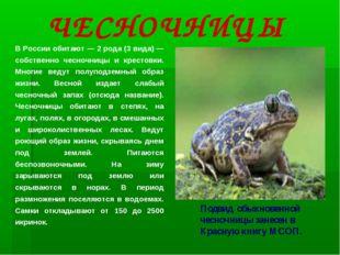 В России обитают — 2 рода (3 вида) — собственно чесночницы и крестовки. Многи
