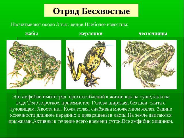 Отряд Бесхвостые Насчитывают около 3 тыс. видов.Наиболее известны: жабы жерля...