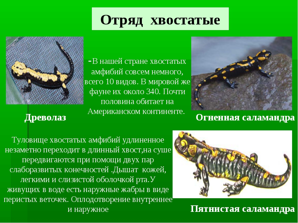 Отряд хвостатые Древолаз Пятнистая саламандра Огненная саламандра -В нашей ст...