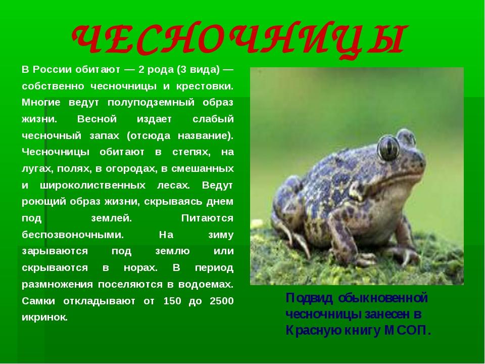 В России обитают — 2 рода (3 вида) — собственно чесночницы и крестовки. Многи...