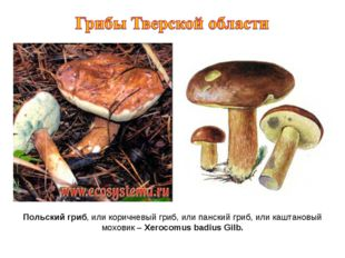Польский гриб, или коричневый гриб, или панский гриб, или каштановый моховик
