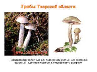 Подберезовик болотный, или подберезовик белый, или березовик болотный – Lecci