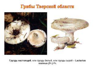Груздь настоящий, или груздь белый, или груздь сырой – Lactarius resimus (Fr.
