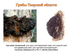 Трутовик скошенный, или чага, или березовый гриб, или черный гриб, или древес