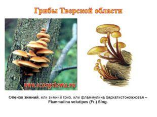 Опенок зимний, или зимний гриб, или фламмулина бархатистоножковая – Flammulin