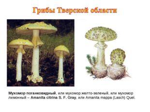 Мухомор поганковидный, или мухомор желто-зеленый, или мухомор лимонный – Aman
